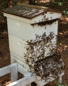 That is a LOT of Bees